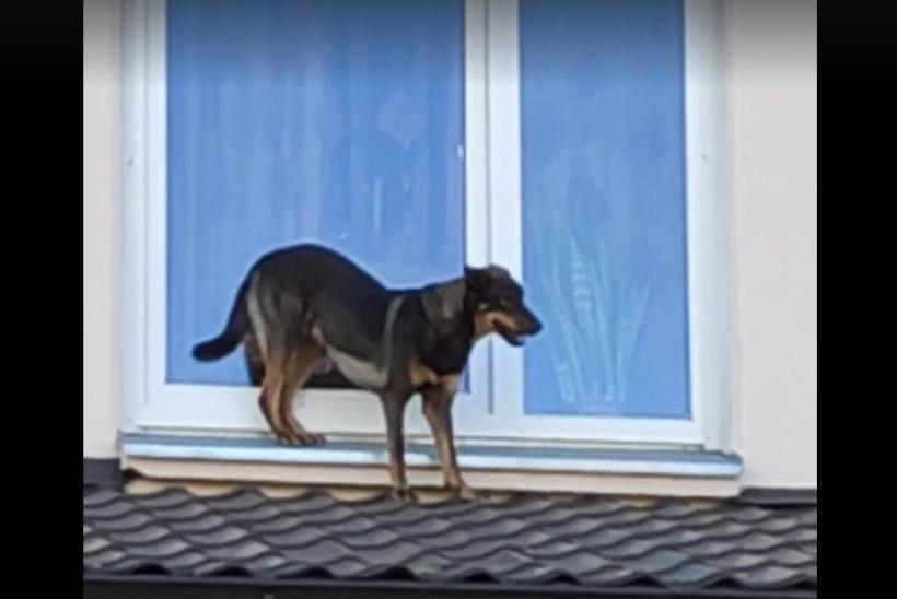 VIDEO | Koer käis katuseid mööda