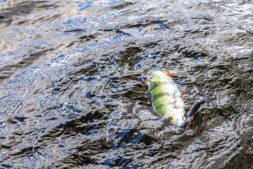 Meelitame ahvenat: paar head nippi passiivse kala püügiks