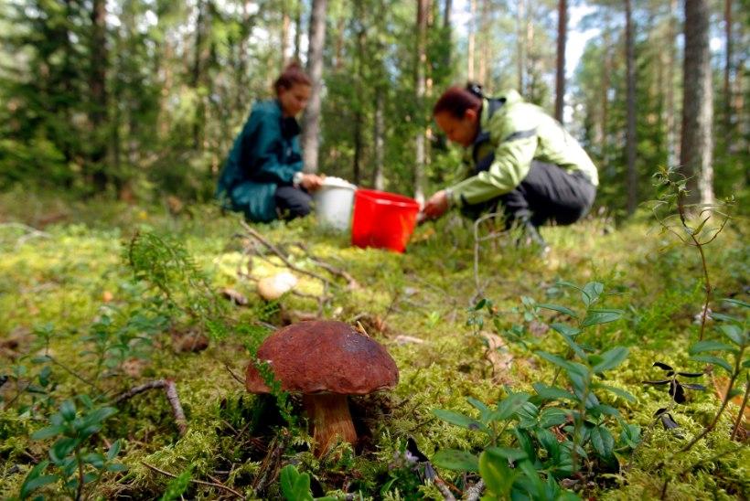 SÕIDA SEENELE! Kus asuvad Eesti parimad seene- ja marjametsad?