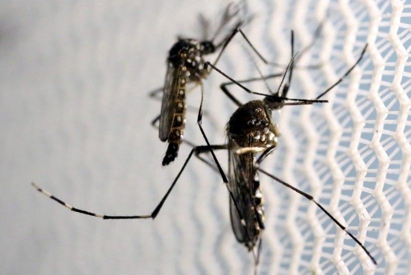 MUTANTPUTUKATE KATSEALA?! Florida paiskab loodusesse 750 miljonit geenimuundatud sääske