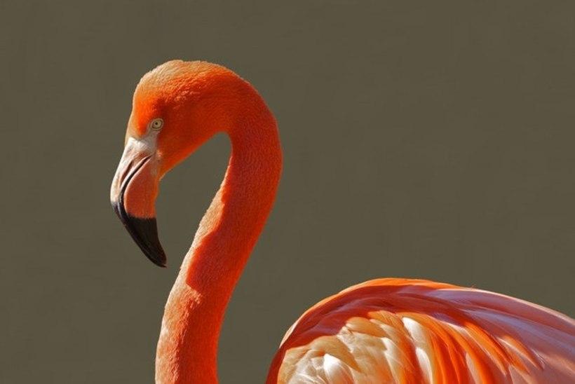 Roosamad flamingod on agressiivsemad