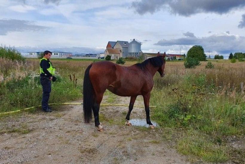 VIDEO JA FOTOD   Järvekülas kappas üksik hobune