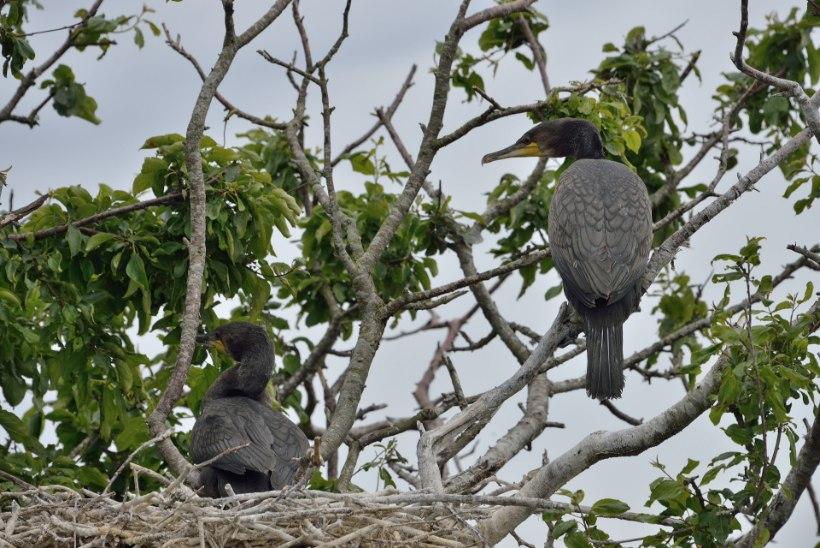 Kas kormoranid söövad kogu kala ära?