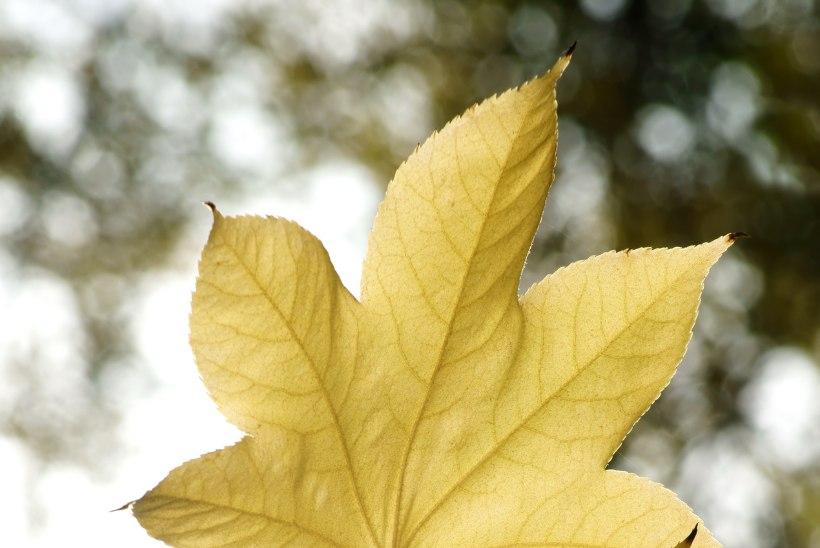 Sügise lummuses: vaata, millised taimed toovad aeda kuldkollast värvitooni
