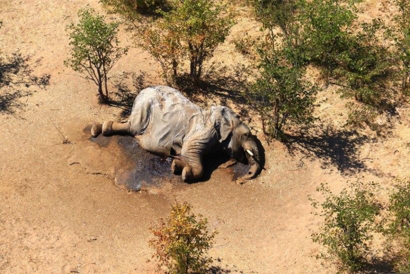 KURB MÜSTEERIUM LAHENES: Botswana elevante ei tapnud inimkäsi