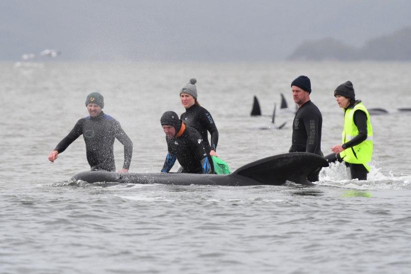 FOTOD | Uudishimu võis vaalad Tasmaania rannikule lõksu ajada