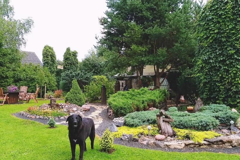 FOTOLUGU | Pilkupüüdvate aiarajatistega õuel on lastud looval mõttel kulgeda