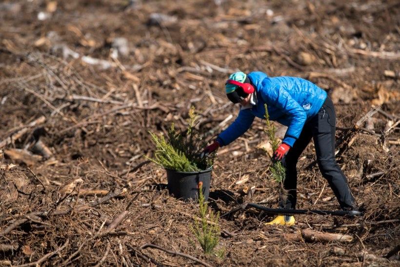 VAHVA REKORD: mullu istutati Eesti metsadesse uusi taimi rohkem kui kunagi varem