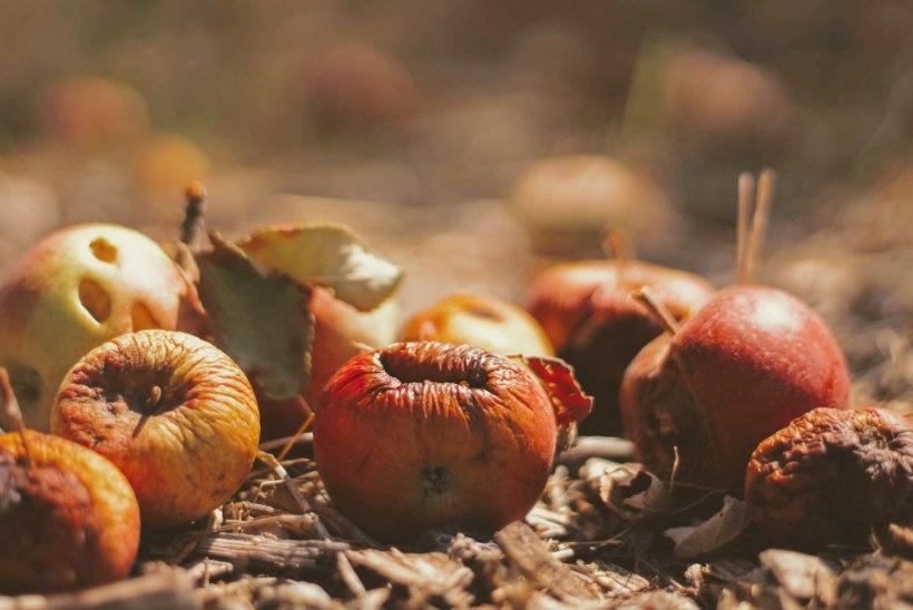 Töid aias jätkub ka oktoobris: korja peenramaalt saak, hoolitse viljapuude eest ja aita ilutaimed talvituma!