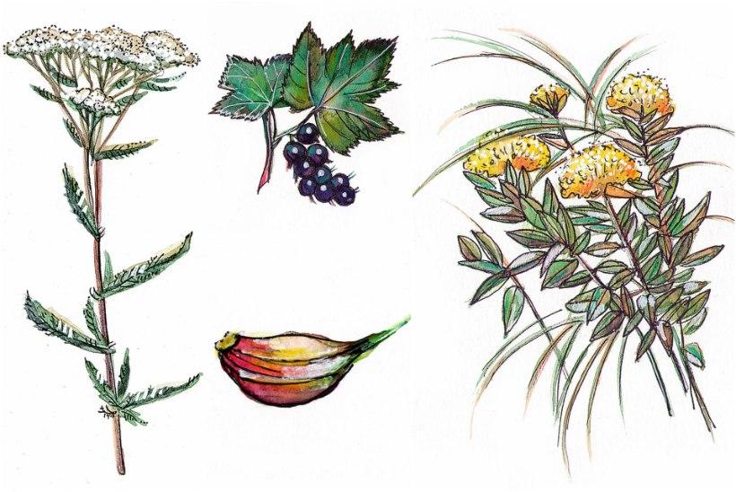 Ravi loodusest: käbihein ja kuldjuur leevendavad pearinglust