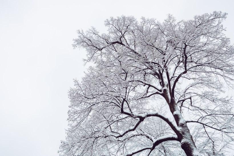 Ole valvas! Tugev tuul ja raske lumi muudavad vana puu elumajale ohtlikuks