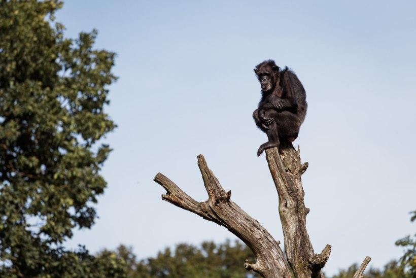 Šimpans Betty vaevleb stressi käes: söögiisu on langenud ja käitumine on rahutu