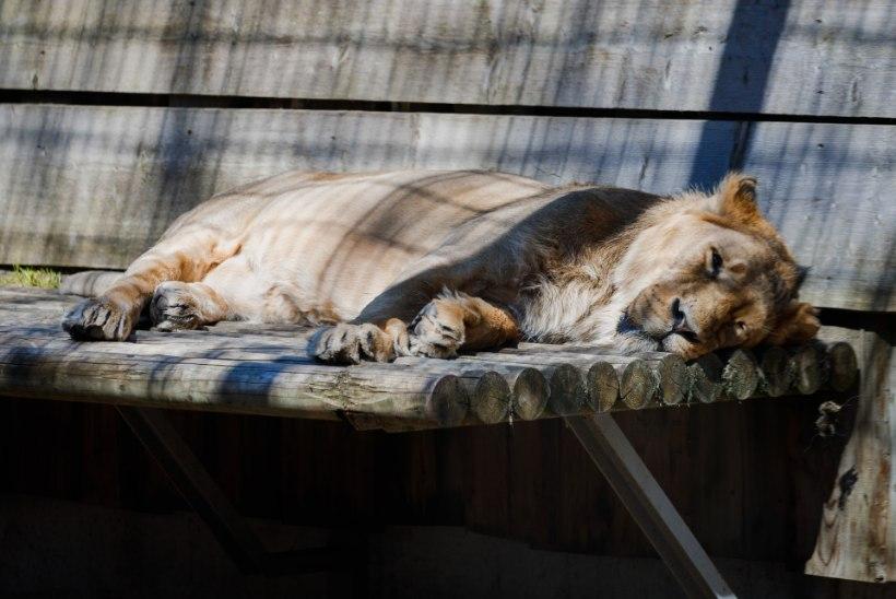Tallinna loomaaias surnud isalõvil tuvastati koroonaviirus