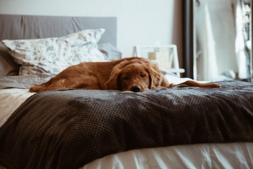 Ekspert selgitab: kas koer võib voodis magada?