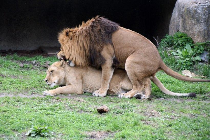 Soovahetus, homopaarid ja kärgpered – loomad on järglaste saamiseks ülinutikad