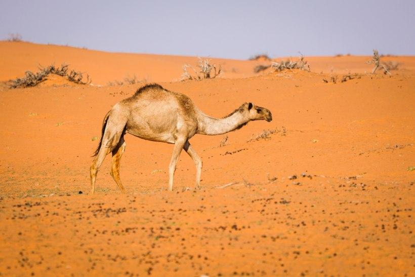 ROBOTTEENIJAD JA LENDAVAD TAKSOD: tere tulemast Saudi Araabia tulevikuparadiisi! Ainult et...