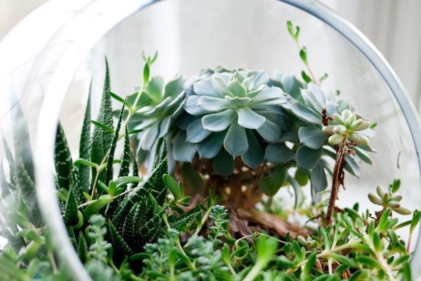Pista aed pudelisse! Taimeterraarium leevendab roheluseigatsust ja annab näppudele tööd