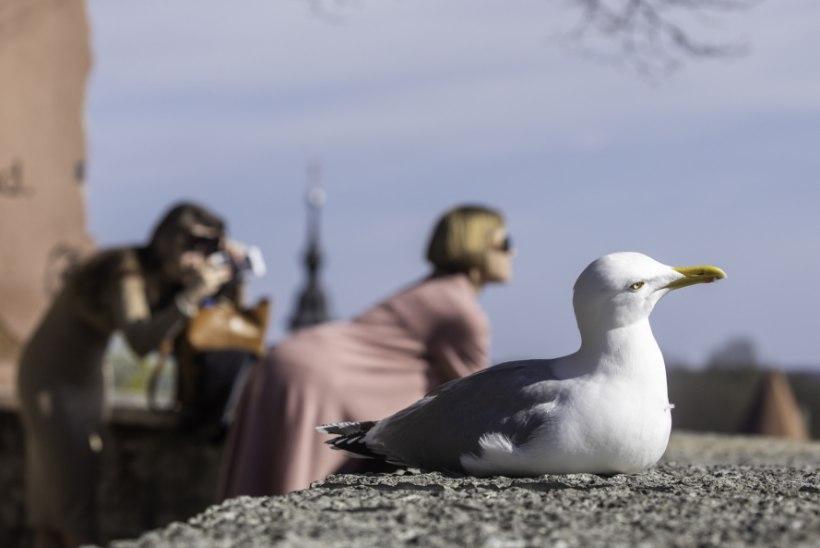 Spetsialist selgitab: miks kajakad linnas elada armastavad ja mida nendega peale hakata?