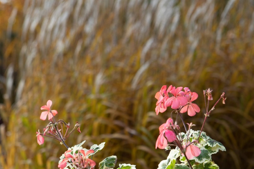 Aeg suvitama viidud taimed tagasi tuppa tuua! Mida silmas pidada?