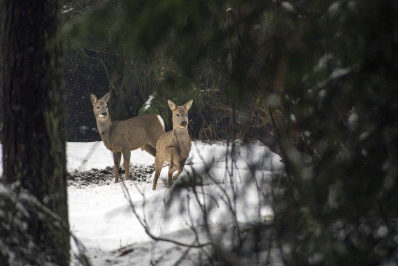 Metskitse käekäik sõltub talve iseloomust