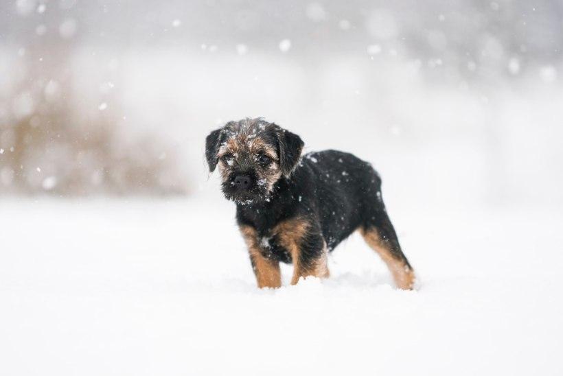 SKEEM | Tee selgeks, kui külm on koera jaoks liiga külm!