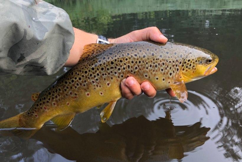 Talviste jõeforellide jahil: kust kala otsida ja millega püüda?