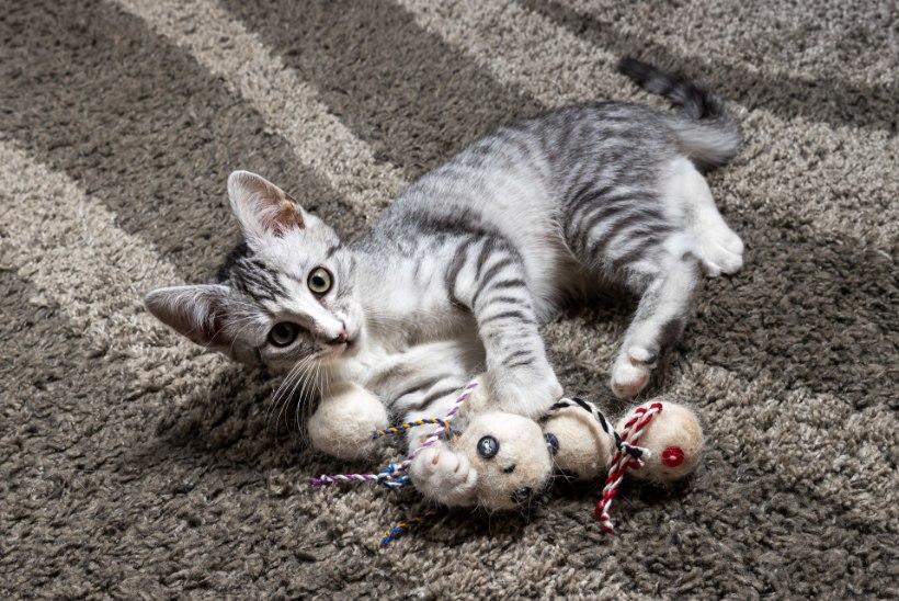 Kingitus lemmikloomale: väike villast sõbrake