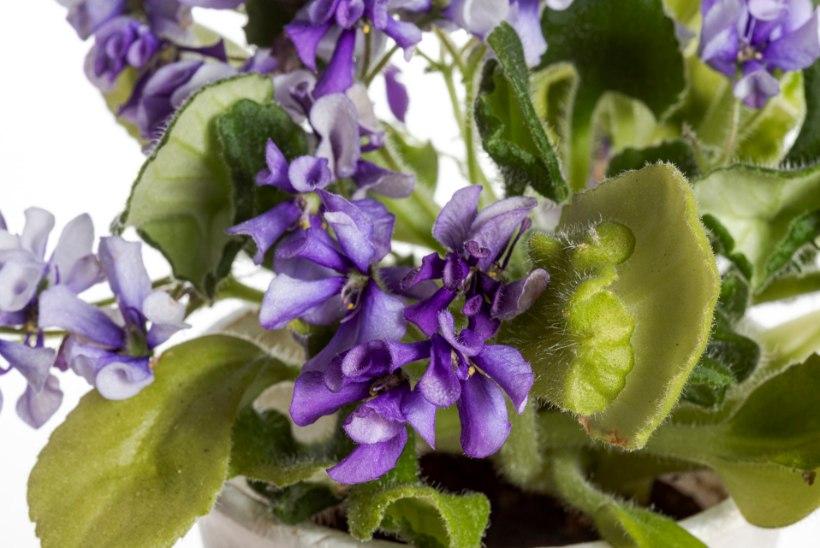 Varjulembesed toakannikesed: justkui lihtsalt kasvatataval taimel on oma kapriisid