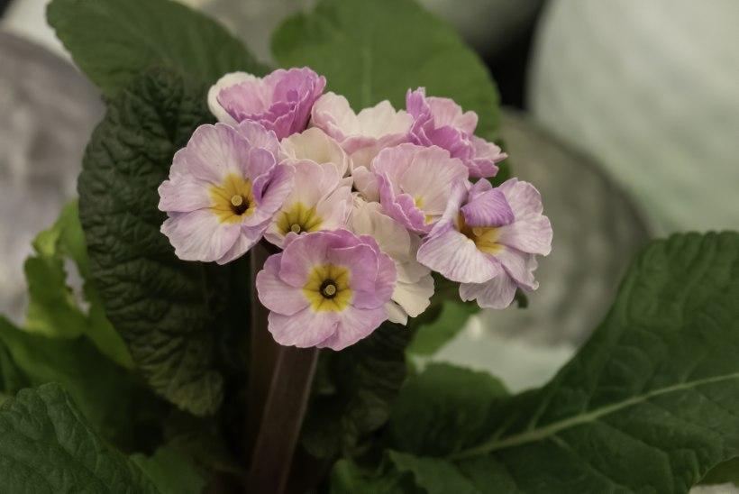 Armsad kodukaunistajad: need viis kevadlille saab hiljem aeda istutada!