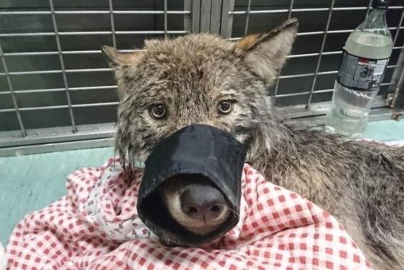 JÄLJED SÜNDMUSPAIGAL: kas uppumissurmast päästetud Sindi hunt hukkus salaküttide käe läbi?