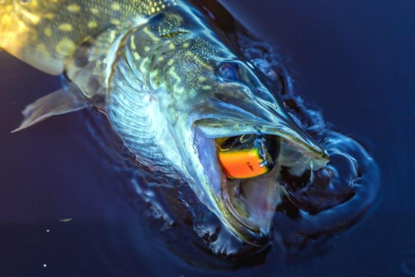 Haugi kuderahu hakkavad valvama vabatahtlikud kalakaitsjad