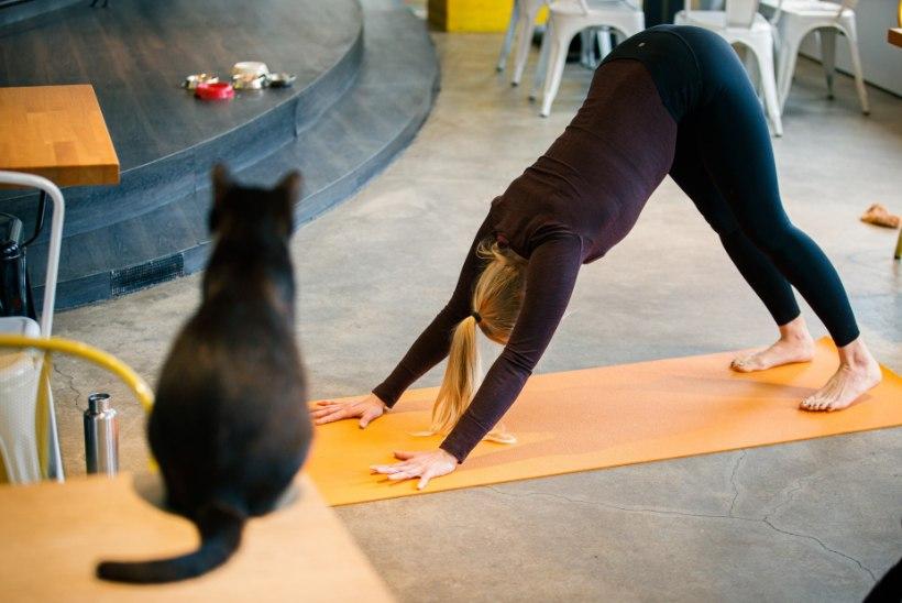 GALERII | Nurrumootor käima ja nunnumeeter lakke! Esmakordselt Eestis saab teha kassijoogat