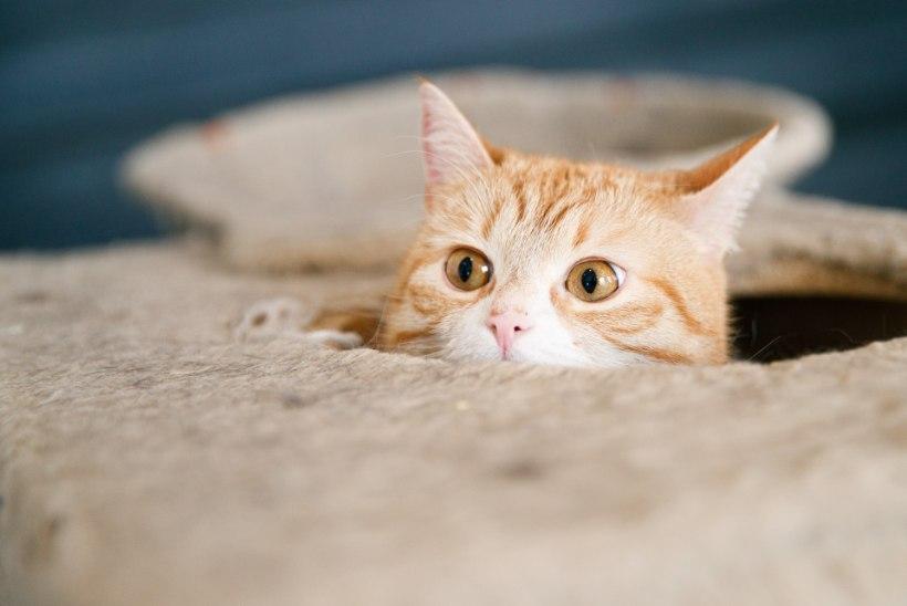 GALERII   Nurrumootor käima ja nunnumeeter lakke! Esmakordselt Eestis saab teha kassijoogat