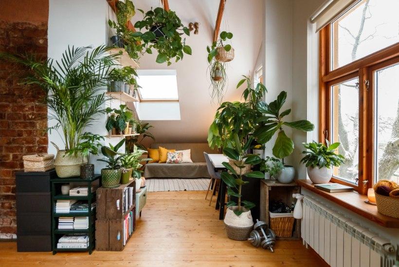 FOTOLUGU | Džungel üürikorteris, kus suurimat rõõmu pakuvad taimed, keda õnnestub päästa