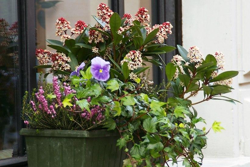 INPIRATSIOONIKS   Terrass ja rõdu õitsema! Just need taimed sobivad varakevadel istutamiseks
