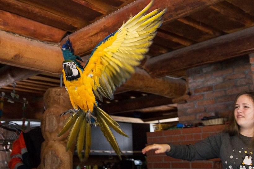 PERELUGU | Koivuoja perekond – kümme aastat ääremaal, sada erivärvilist muna ja papagoiteater