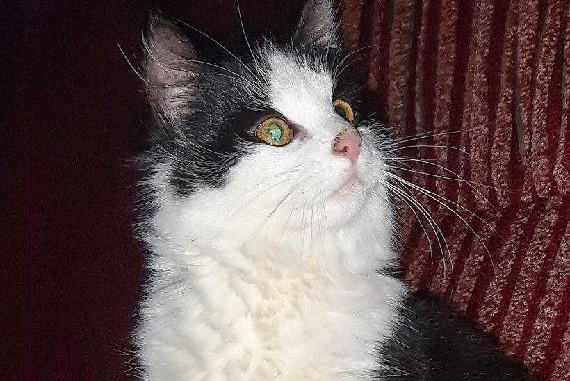 Kõige nunnum hädaline: peadpidi auku kinni jäänud kass Paksu praavitab end pööningul