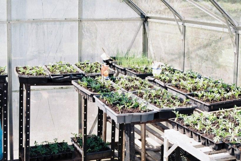 Triiphoone kahjurivabaks! Nõuanded, kuidas kasvuhoone kevadel desinfitseerida