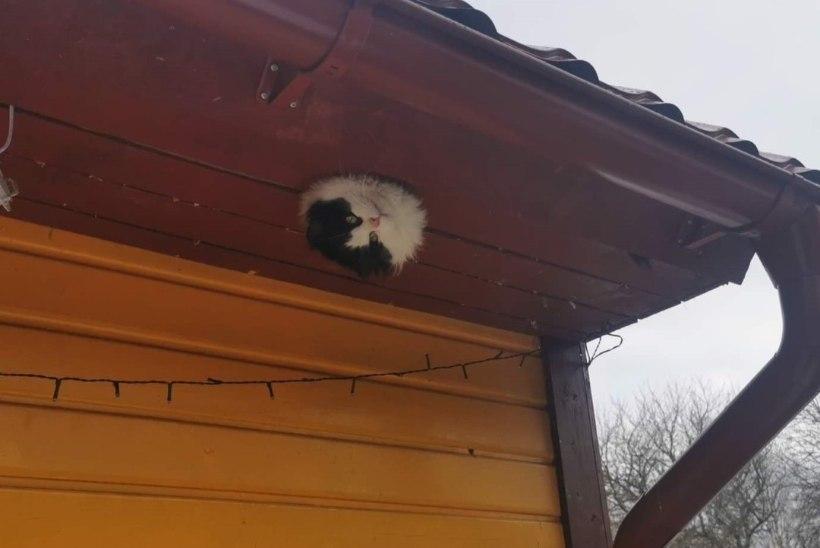 UUS TREND! Kuressaare kutsu üritas kass Paksu trikki korrata