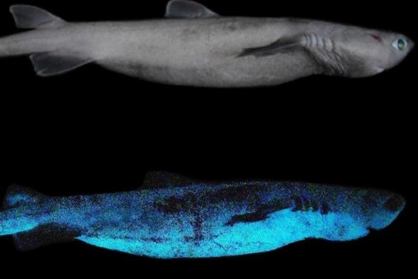 Uus-Meremaa lähedalt leiti pimedas helendavad haid