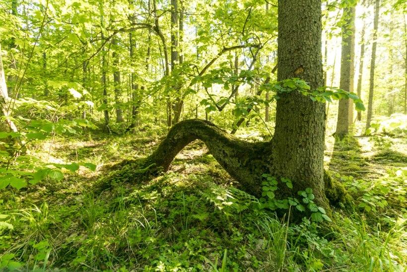 Riikliku avaliku uuringu salajasuse vajalikkuse paradoks ehk Miks on meil vaja just sellist statistilist metsainventuuri