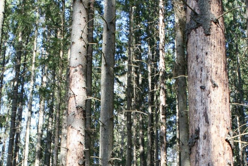 Kevadtööd metsas – võitlus üraskiga, uue kultuuri rajamine ja hooldamine