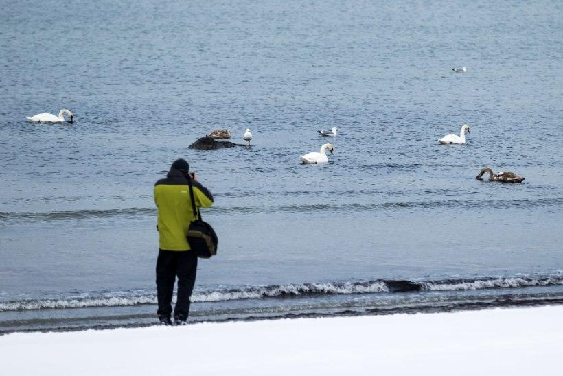 Linnugripp laastab: põhjarannikult leiab hulgaliselt surnud luiki