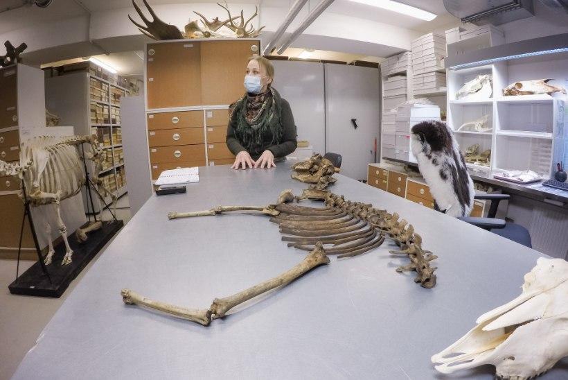 Zooarheoloog: näljas eestlane sõi ka koerad ära