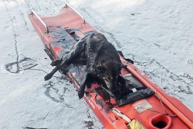 Päästjad said viimasel sekundil järvest kätte uppuva koera: tema kehatemperatuur oli madalam, kui kraadiklaas näidata suutis