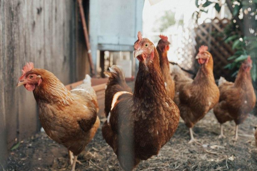 VIDEO | LAPSESUU EI VALETA: väikesed kuldsuud arutlevad kanade heaolu üle
