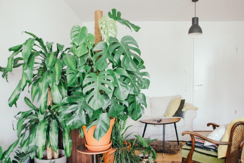 Hiiglase mõõtu toalilled kodus: mida suured taimed eluks vajavad?