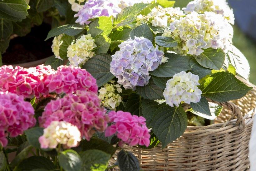 Praktilised soovitused, kuidas kasvatada põõsaid aiavaasis