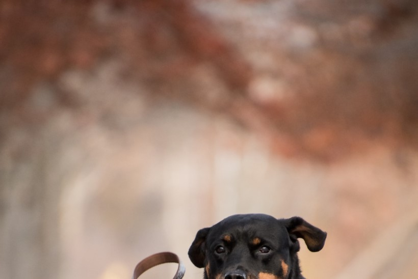 Koeraomaniku rihmapeavalu: milline kaela- ja jalutusrihm valida