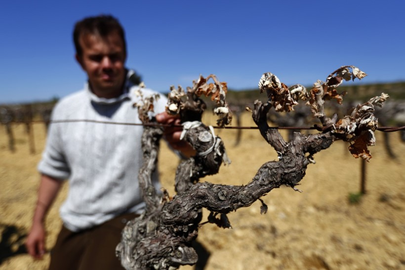 Külm hävitas kolmandiku Prantsusmaa viinamarjasaagist